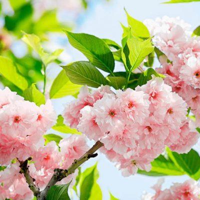 Fototapet Sakura-Blossom