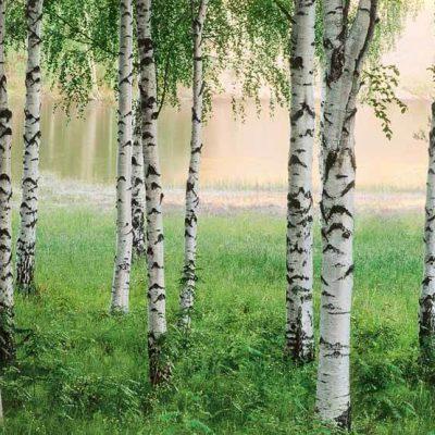 fototapet birketræer