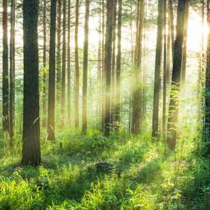 fototapet sunset in the woods
